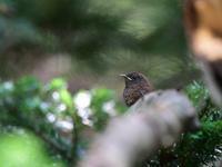 幼鳥達が・・・ウソ・ミソサザイ。 - 鳥見んGOO!(とりみんぐー!)野鳥との出逢い