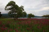 福島 北塩原村 桧原湖のミソハギ その3 - 日本あちこち撮り歩記