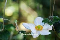 秋の花、秋明菊 - 花と風の薫り