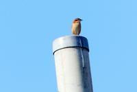 モズ・コシアカツバメ・イソヒヨドリ・シジュウカラ、浅川 - 西多摩探鳥散歩