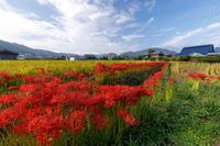 亀岡・曽我部 重利天満宮周辺の彼岸花 - 花景色-K.W.C. PhotoBlog