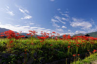 亀岡・曽我部 西条の田んぼの彼岸花 - 花景色-K.W.C. PhotoBlog