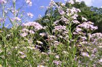 紫苑が咲く--鎌倉海蔵寺にて - くにちゃん3@撮影散歩