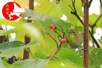 秋のメジロ パート3 - イチガンの花道