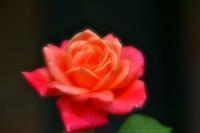 秋バラ祭りその1のデジブックを公開しました - 写真撮り隊の今日の一枚2