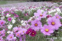 <秋桜> - 藍の郷