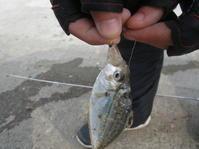 イワシに釣られてやってきました!! - ロンの釣り、時々日常。