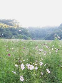 何気なく秋桜のあいだをゆらめいて | 久里浜花の国にて - 横須賀から発信 | プラス プロスペクトコッテージ 一級建築士事務所