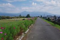 雁堤(かりがねつつみ)のコスモス富士市 - 山の花、町の花