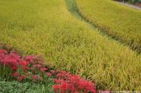 名残りの彼岸花とコガネイロの稲穂 - ratoの山歩き