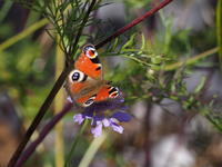 白樺峠のチョウ - コーヒー党の野鳥と自然 パート2
