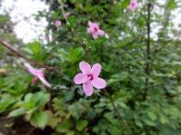 キューティーハイビスカス - だんご虫の花