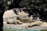 眠るクロサイ - 動物園放浪記
