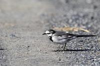 警戒心がうすく.可愛いハクセキレイ - 武蔵野の野鳥