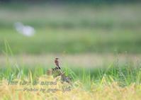 秋の風物詩、ノビタキ - THE LIFE OF BIRDS --- 野鳥つれづれ記