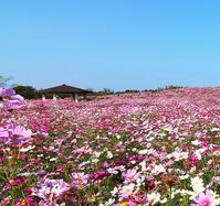 海の中道公園のコスモス - 信仙のブログ