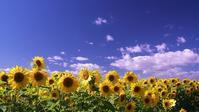 パレットの丘で満開のひまわり畑 - 北国の花鳥風月