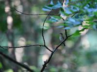 涼しい森の中で・・・オオルリ。 - 鳥見んGOO!(とりみんぐー!)野鳥との出逢い
