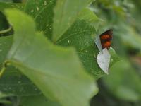 ウラギンシジミ交尾と卵 - 90% Papillon -蝶の写真を撮っています-