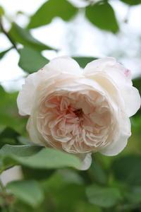 伸びないジオルブライトンランブラー - my small garden~sugar plum~