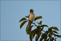 サンショウクイに魅せられて~♪ - てるてる坊主の鳥り撮り日記