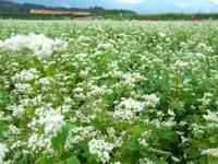 蕎麦の花 - にゃんたの写真日記
