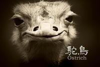 ダチョウ:Ostrich - 動物園の住人たち写真展(はなけもの写眞館)