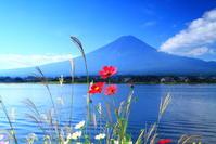 29年10月の富士(4)コスモスと富士 - 富士への散歩道 ~撮影記~