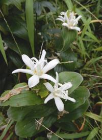 白花の「ホトトギス」 - 【出逢いの花々】