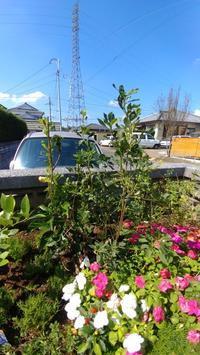更紗ドウダンツツジ - 世に万葉の花が咲くなり
