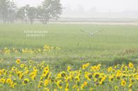 アオサギとひまわり畑 - ekkoの --- four seasons --- 北海道