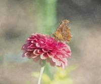 キタテハ蝶 - 光 塗人 の デジタル フォト グラフィック アート (DIGITAL PHOTOGRAPHIC ARTWORKS)