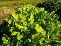 大根葉を間引く・レッドアンデスの発芽(南国畑) - 化学物質過敏症・風のたより2