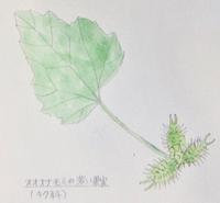 #植物スケッチ 『オオオナモミ』 - スケッチ感察ノート