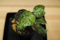 Aglaonema pictum '元祖' - PlantsCade -2nd effort