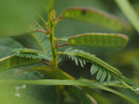 ツマグロキチョウ卵〜幼虫〜蛹 - 90% Papillon -蝶の写真を撮っています-