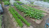 秋の野菜畑 - 道草だより