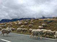 羊の大群、公道を移動する - bluecheese in Hakuba & NZ:白馬とNZでの暮らし