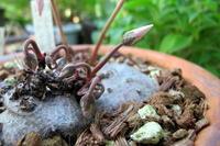 秋咲き種 - リリ子の一坪ガーデン