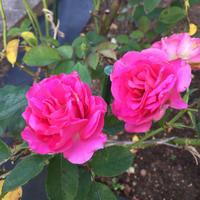 庭の薔薇 (10/10) - 春&ナナと庭の薔薇