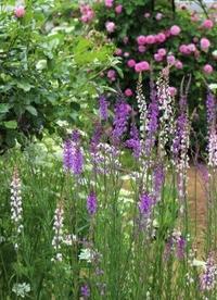 ピンクが出るか紫が出るのか - ペコリの庭 *