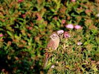 ホオジロ   SYK - シエロの鳥ノート