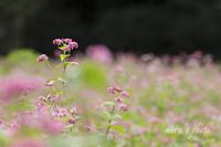 赤蕎麦の咲く場所。 - MIRU'S PHOTO