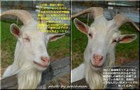 山羊の爺さん世相を語る - 北海道photo一撮り旅