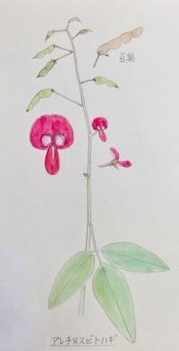 #植物スケッチ 『アレチヌスビトハギ』 - スケッチ感察ノート