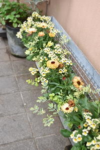 カレンジュラ・コーヒークリーム植えました♪ - 小さな庭 2