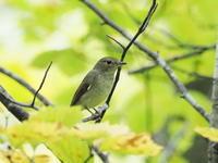 キビタキでしょうか? - コーヒー党の野鳥と自然 パート2