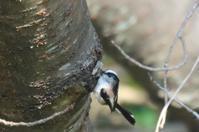 可愛いエナガ - poiyoの野鳥を探しに