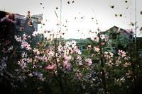 住宅地の秋桜 - ぴんの助でございます