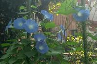 20171011 【自然】花は咲けども実の一つ・・・アサガオ - 杉本敏宏のつれづれなるままに